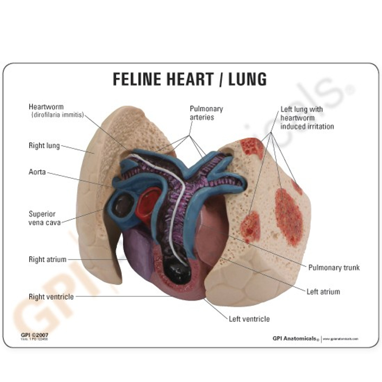Feline Heart / Lung Model Description Card