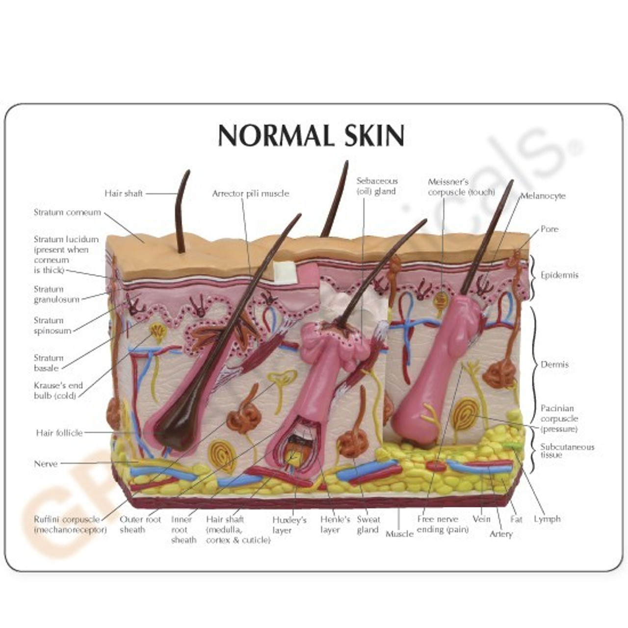 Acne Skin Model Description Card
