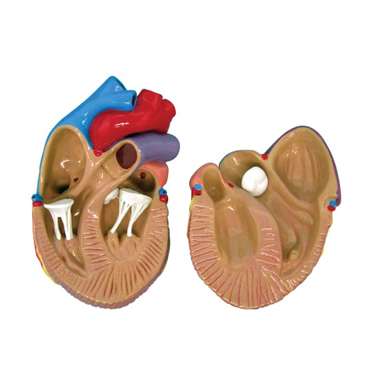 Heart Anatomical Model Mini set