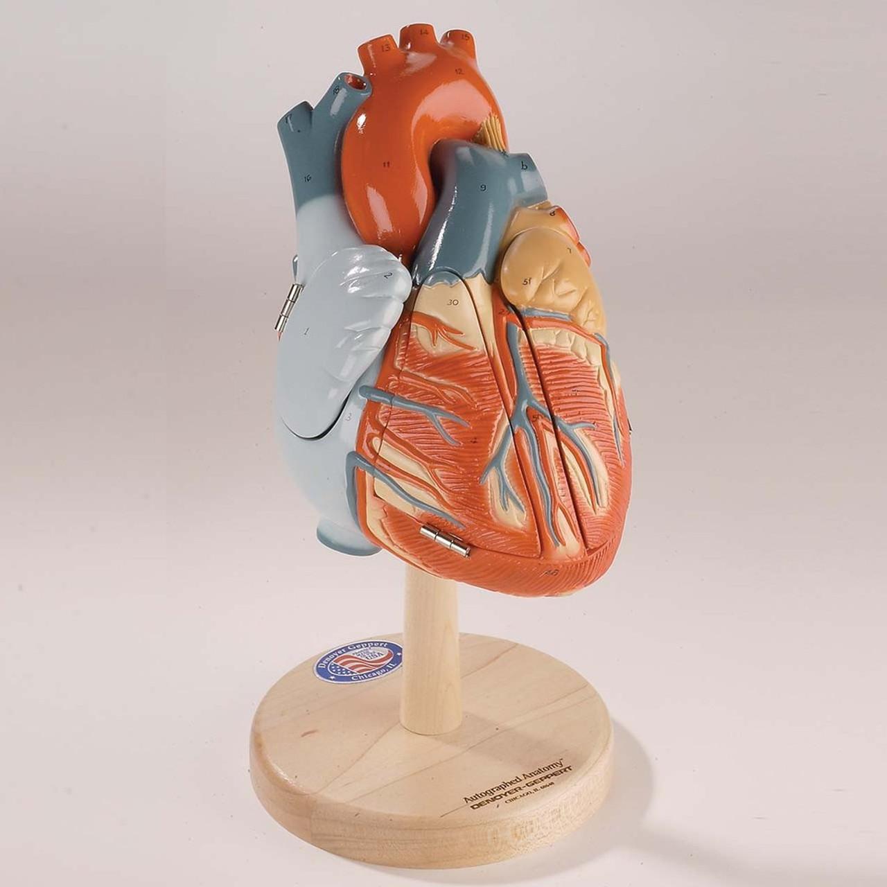 Heart of America Anatomical Model