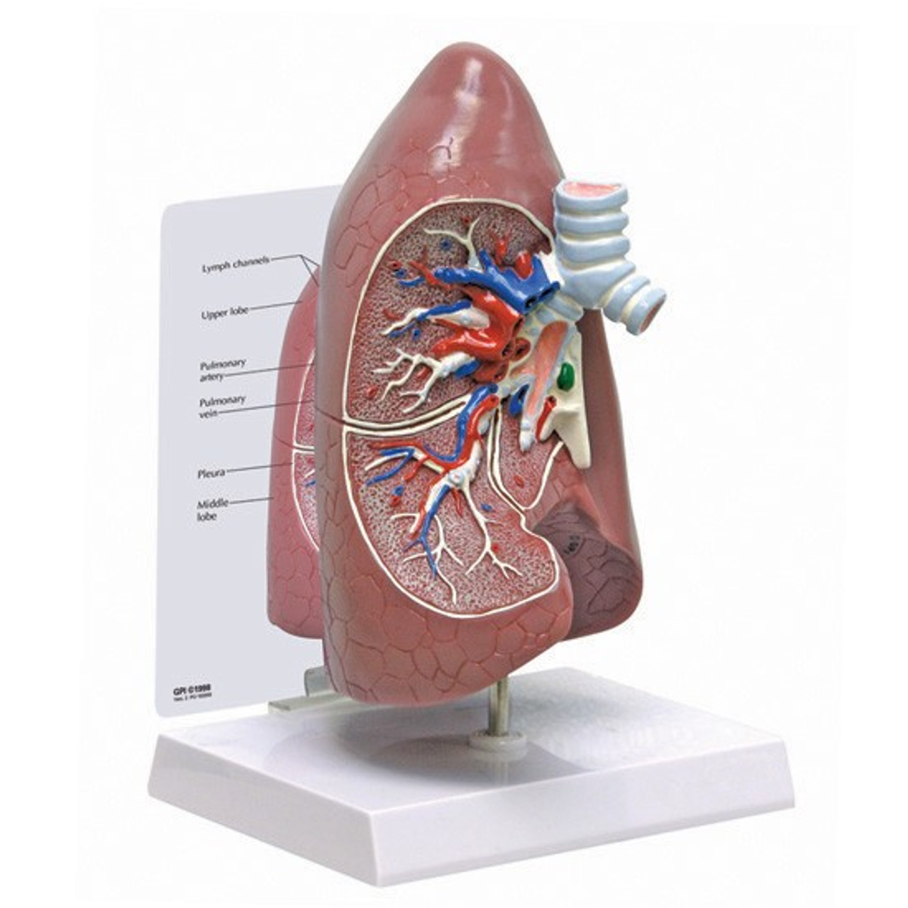 Lung (Right side)Anatomical Model