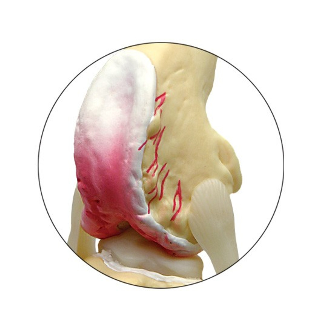 Canine Knee Model - Close up