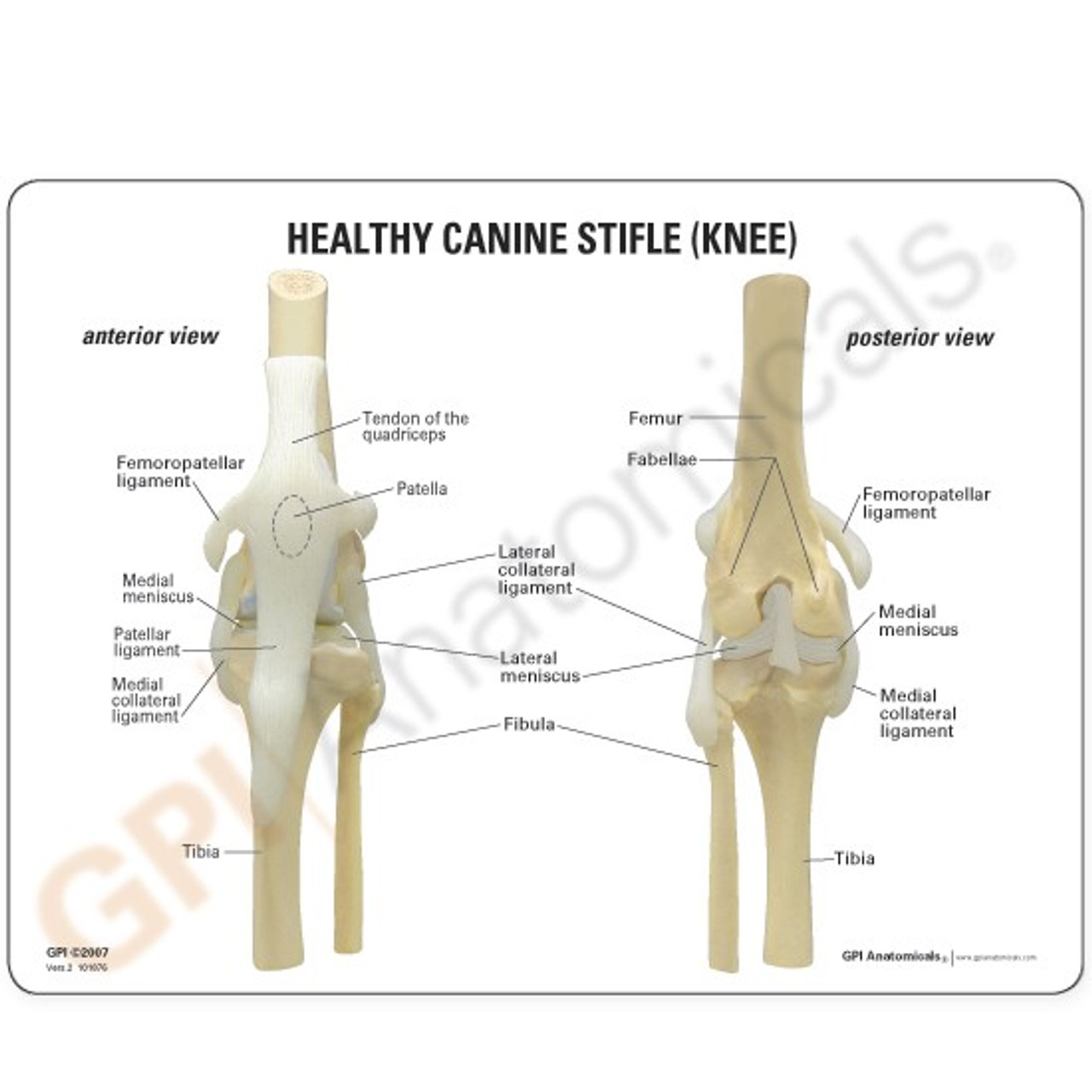Canine Knee Model - Description Card