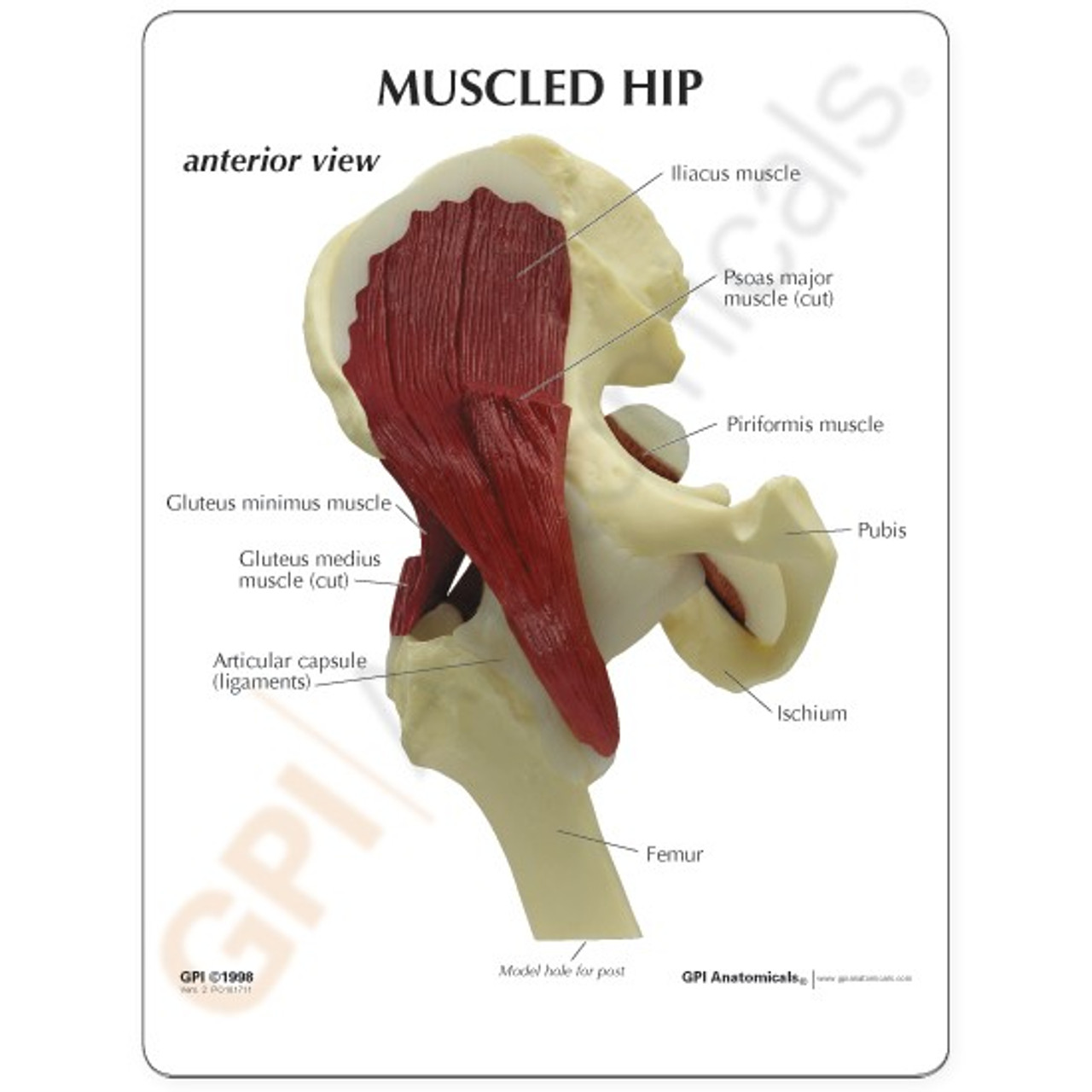 Hip Muscled Anatomical Model Description Card