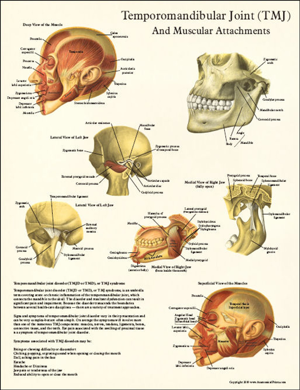 Tmj Anatomy And Muscular Attachments Poster Clinical Charts And