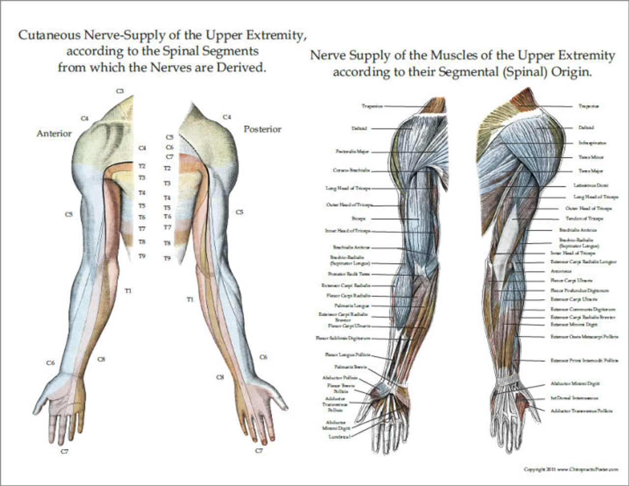 lower extremities diagram nerve innervation of upper and lower extremities posters  3  upper and lower extremities posters