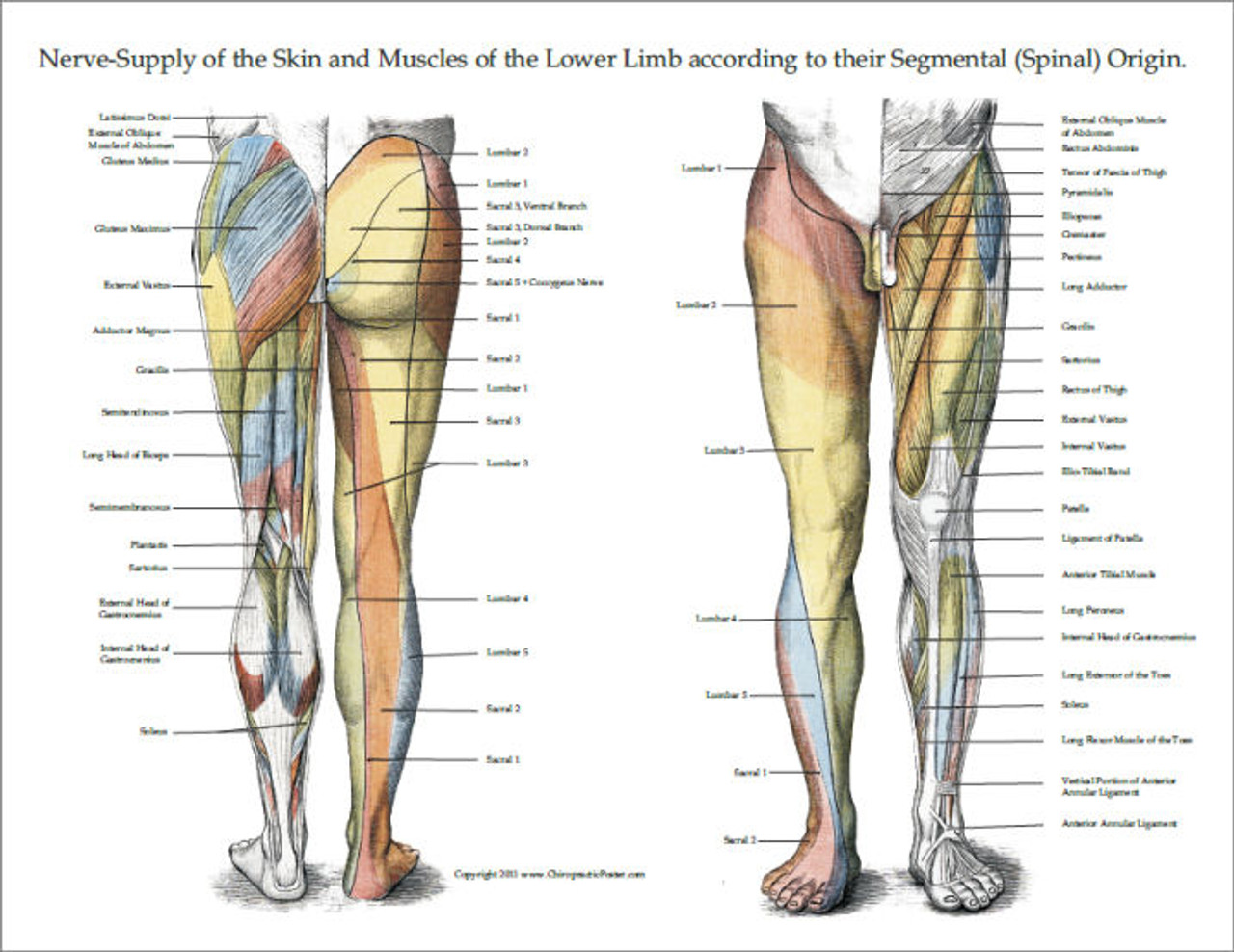 Nerve Innervation Of Upper And Lower Extremities Posters