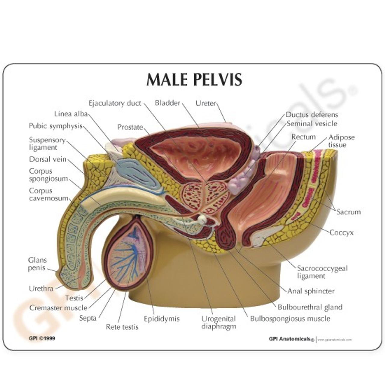 Male Pelvis  Anatomy Model Description Card