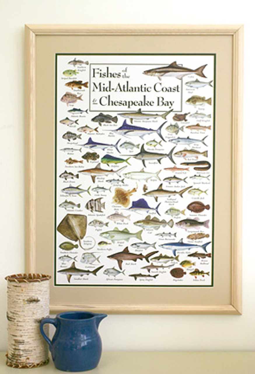 Fishes of the Mid-Atlantic Coast & Chesapeake Poster