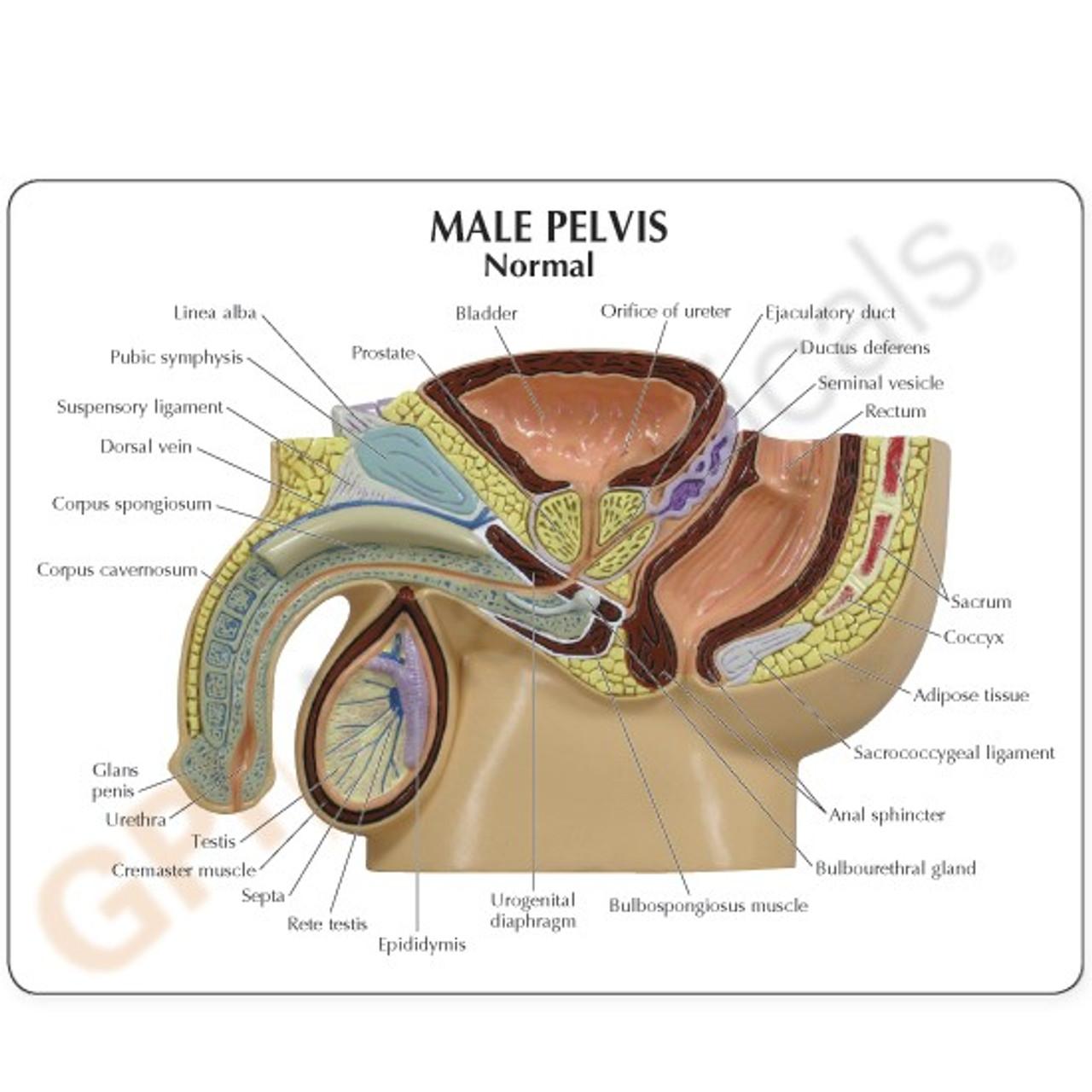 Male Pelvis Cross  Anatomy Model Description Card