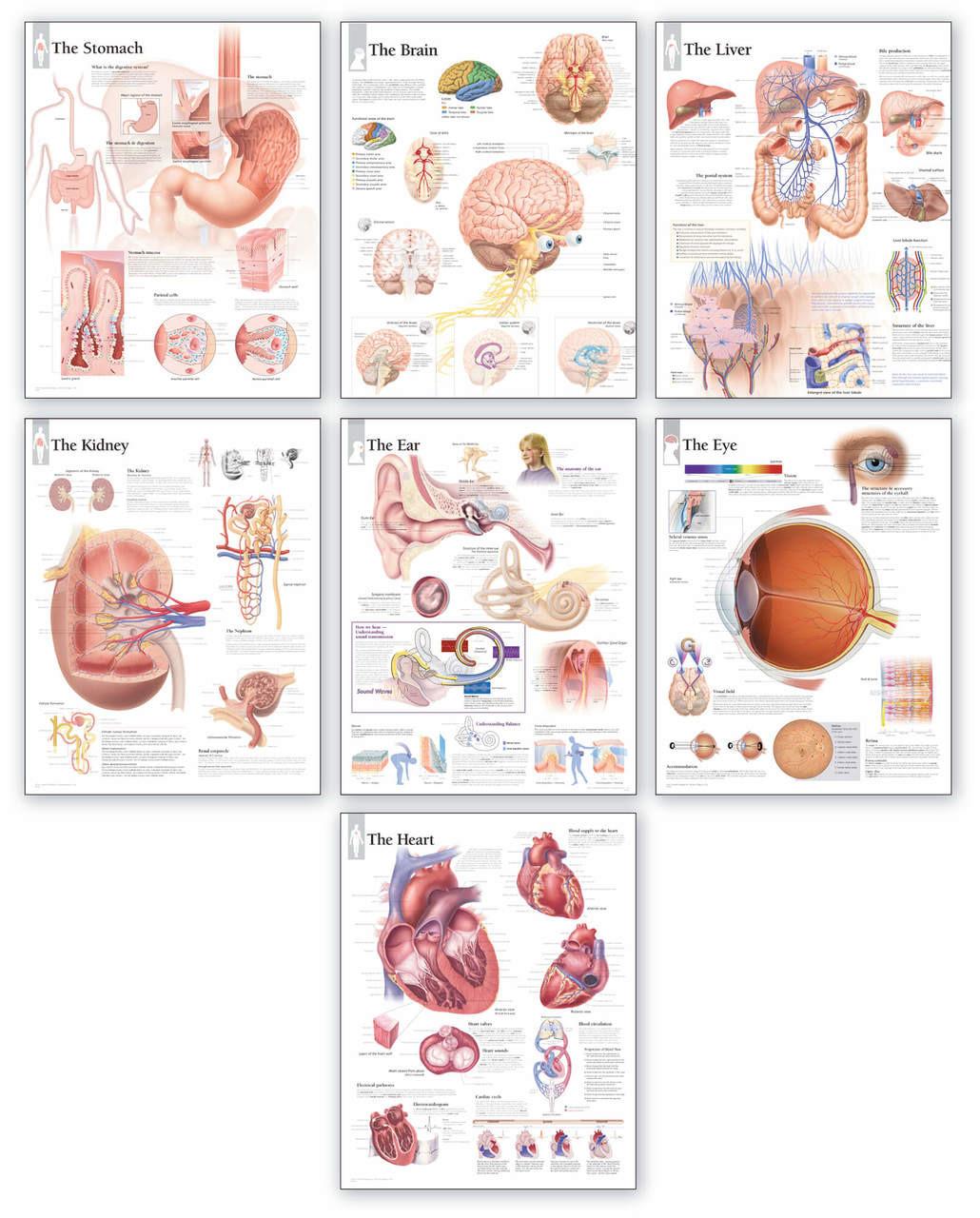 Body Organ Wall Charts