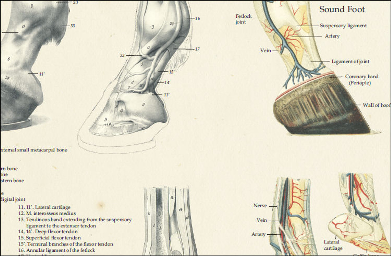 Equine Foot Anatomy Poster