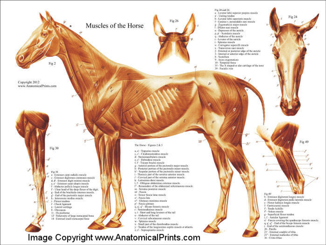 Horse Muscle Poster Clinical Charts And Supplies