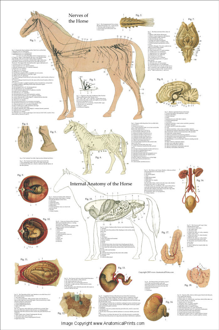 Horse Nervous System And Organ Poster Clinical Charts And Supplies