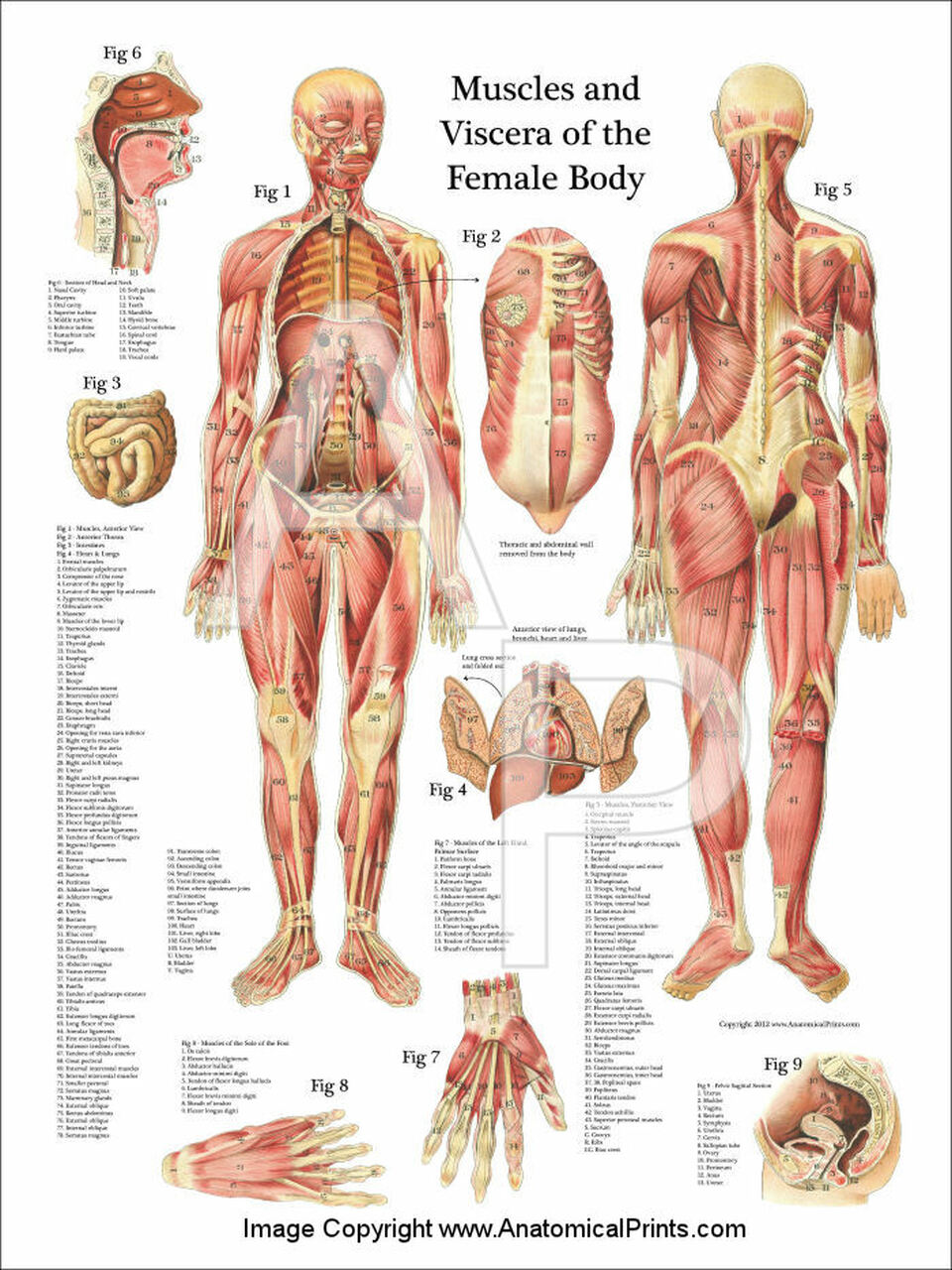 muscles and viscera of the female anatomy poster