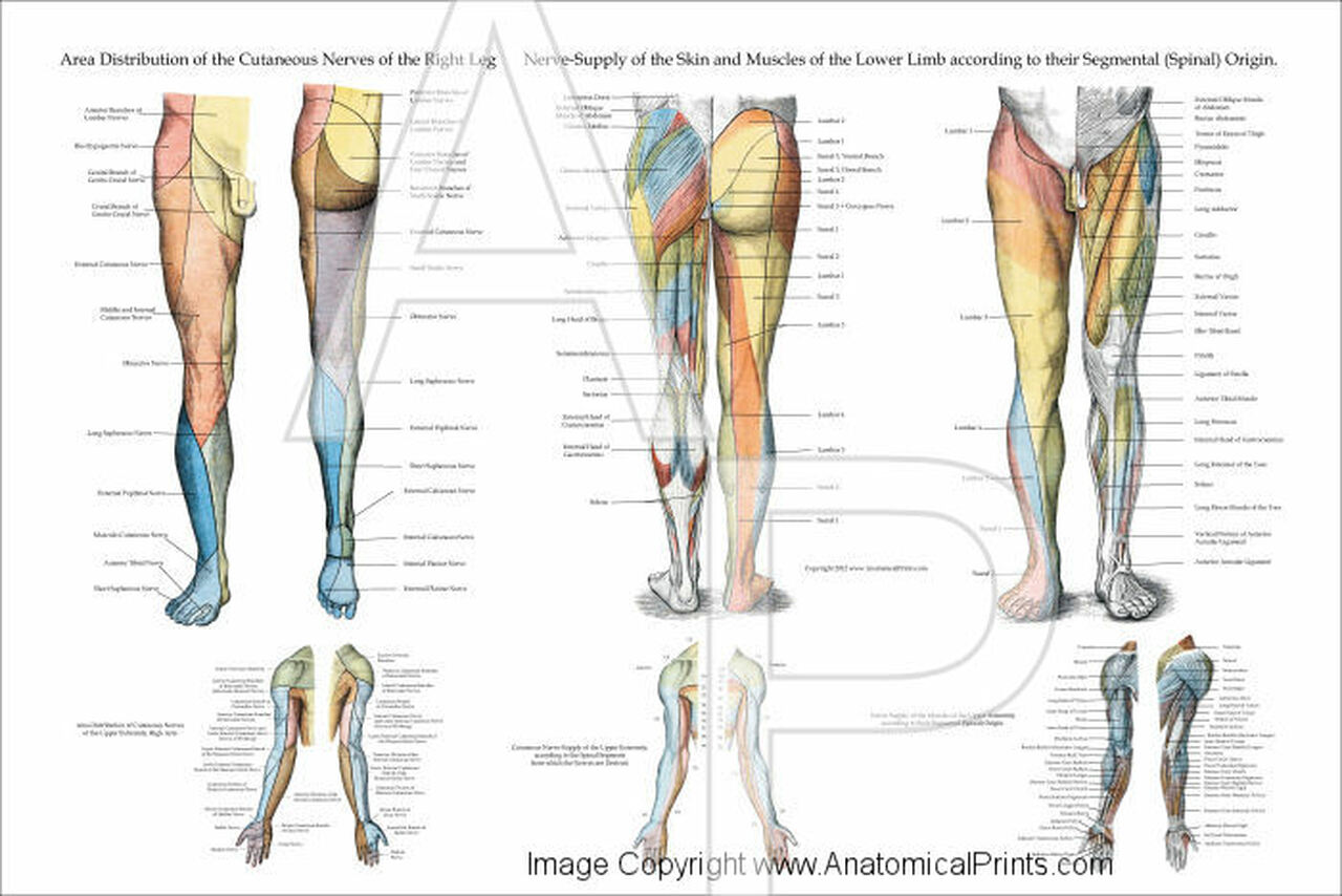 lower extremities diagram nerve innervation of the lower extremities 24  x 36  clinical  nerve innervation of the lower