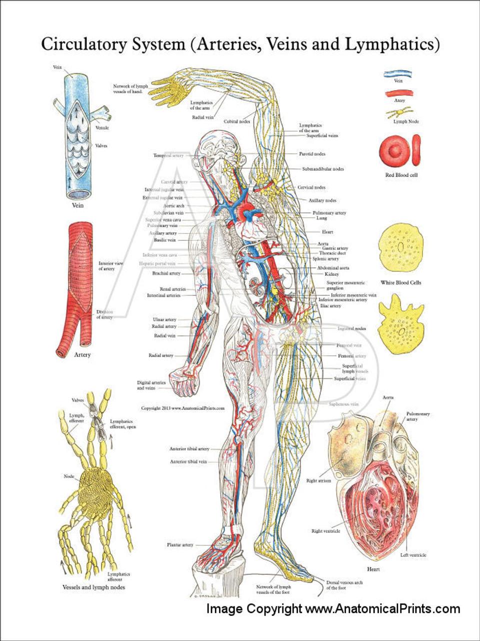 Circulatory System - Arteries  Veins  U0026 Lymphatics Poster
