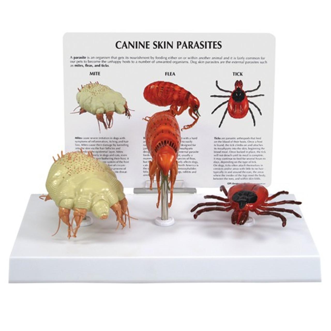 Dog Parasite Model