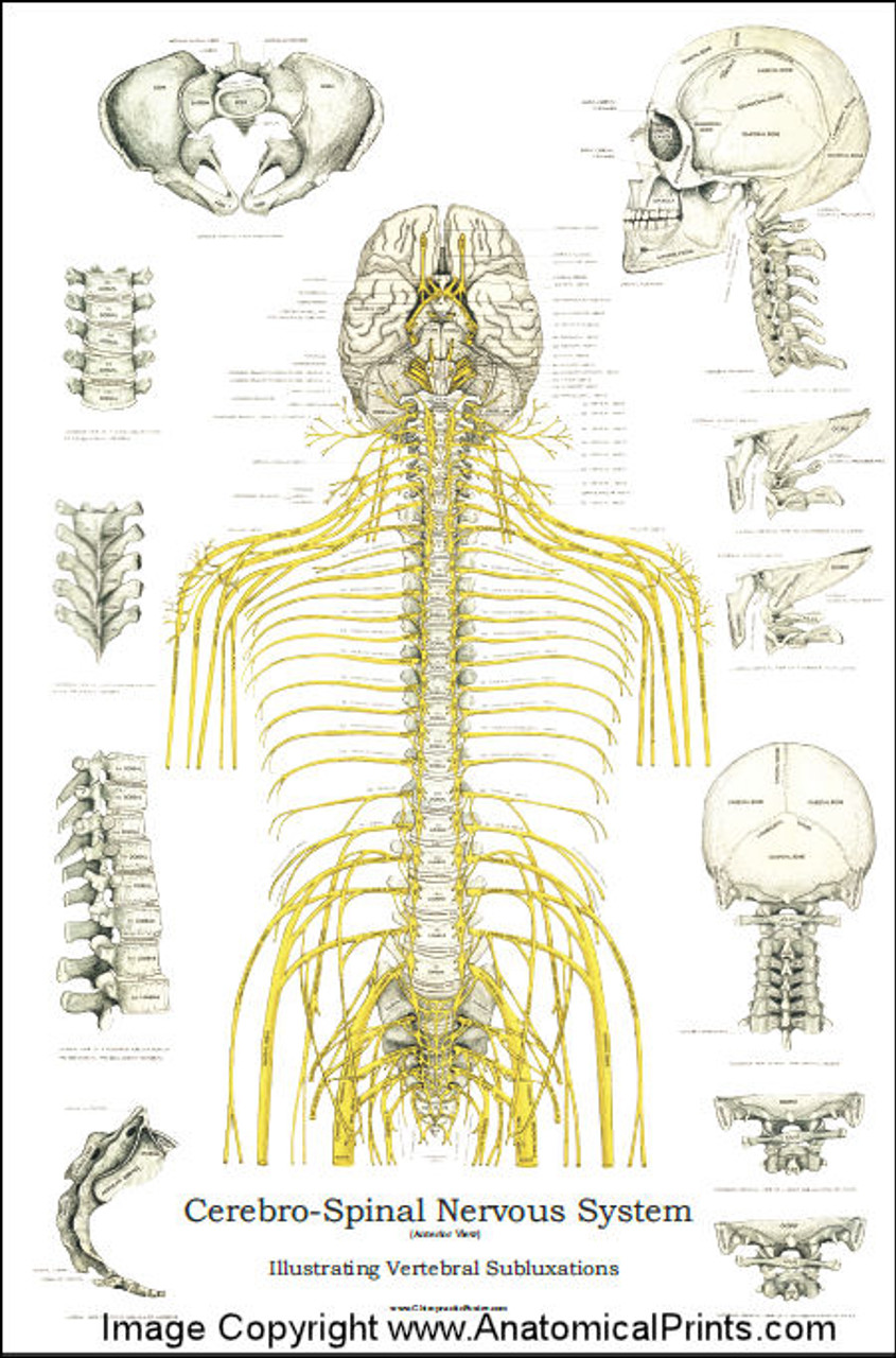 Subluxation and Spinal Nerve Chart