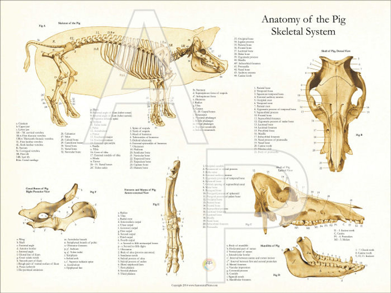 pig skeletal anatomy poster    clinical charts