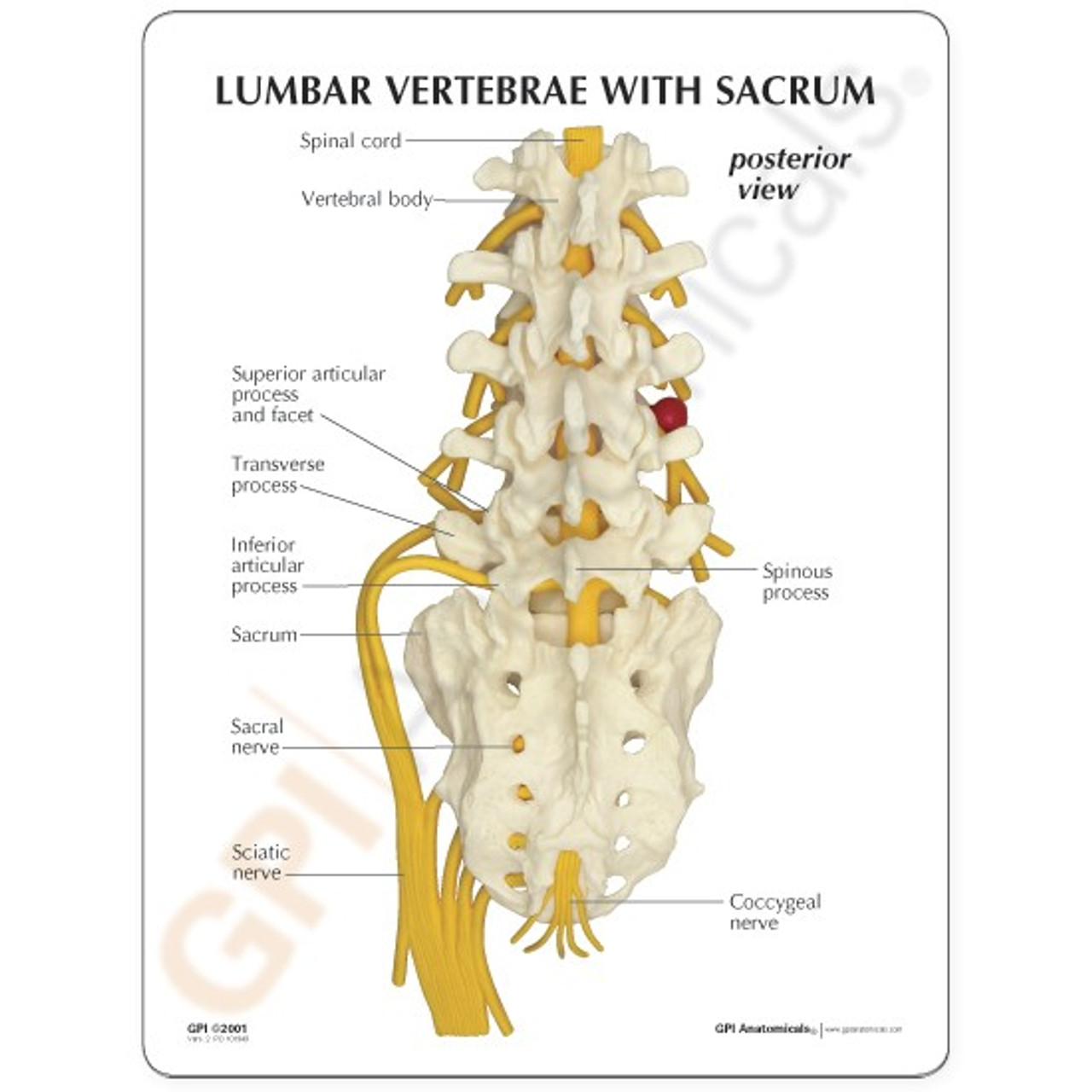 Lumbar Vertebrae and Sacrum  Description Card