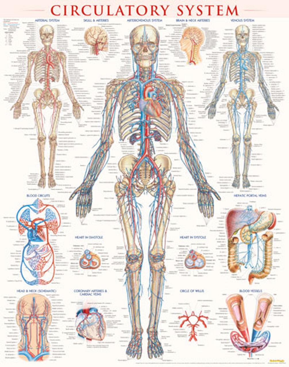 Circulatory System Anatomy Poster