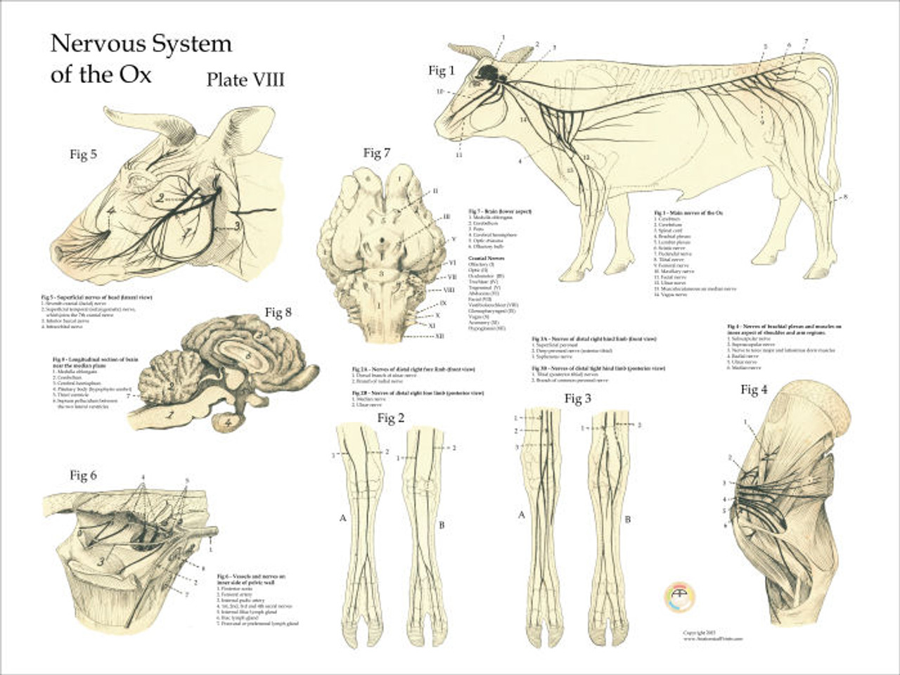 lung diagram cow cow nervous system poster clinical charts and supplies  cow nervous system poster clinical