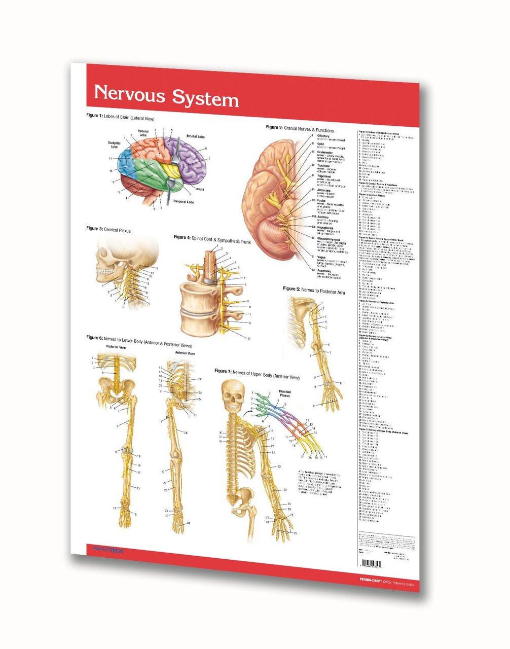 Nervous System Poster