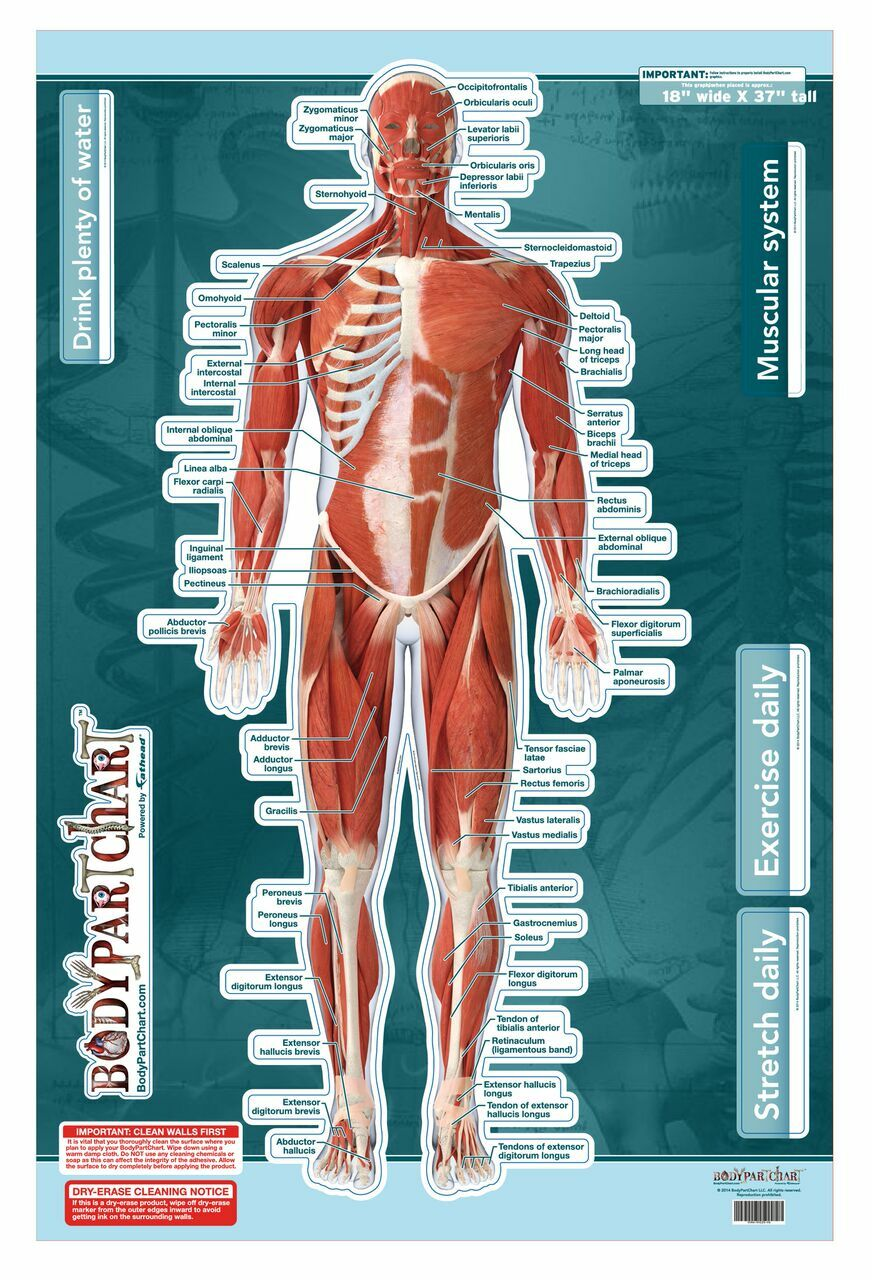 Muscular System Sticky Wall Chart- Anterior