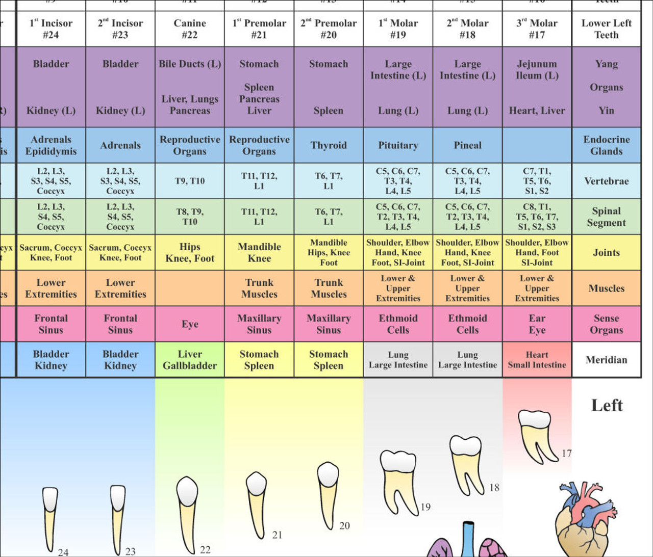 24 x 36 Dental Meridian Poster-( magnified)