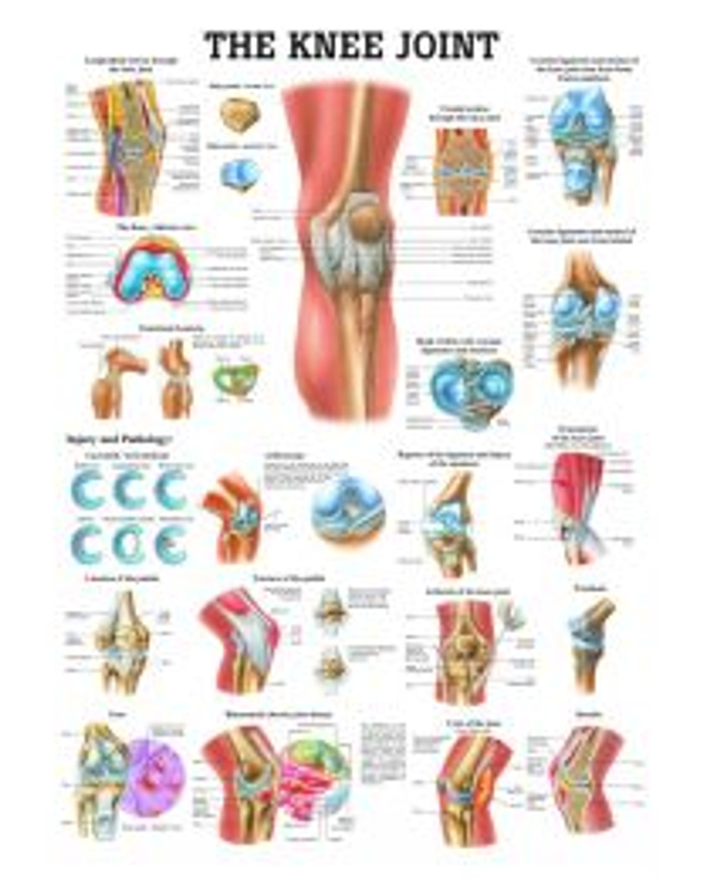 The Knee Joint Poster
