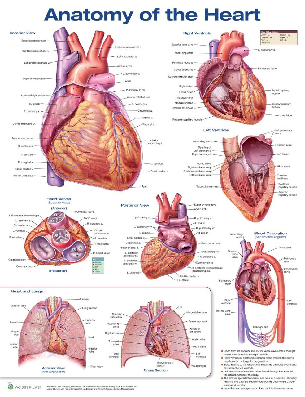 Anatomy of the Heart 3rd ed