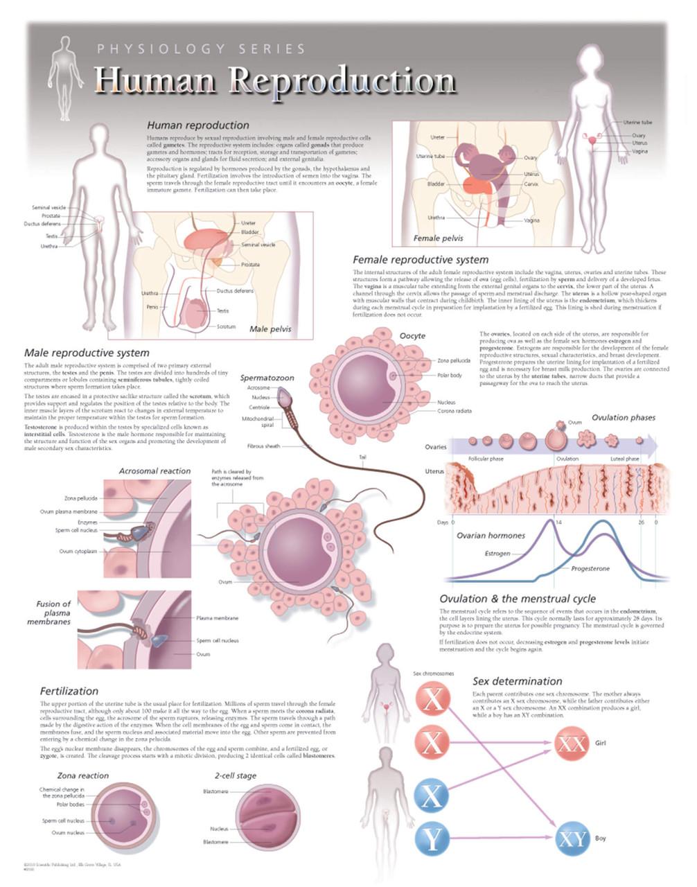Human Reproduction Poster