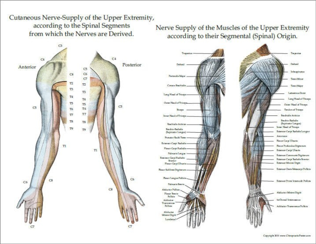 Muscle nerve supply
