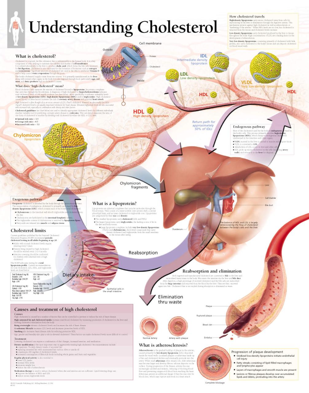 Understanding Cholesterol Anatomy Poster