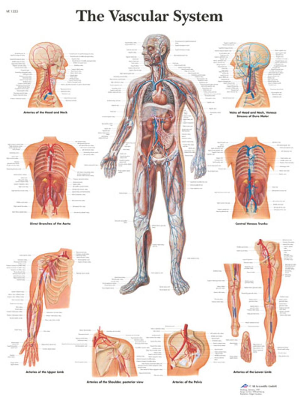 Vascular System Anatomical Poster