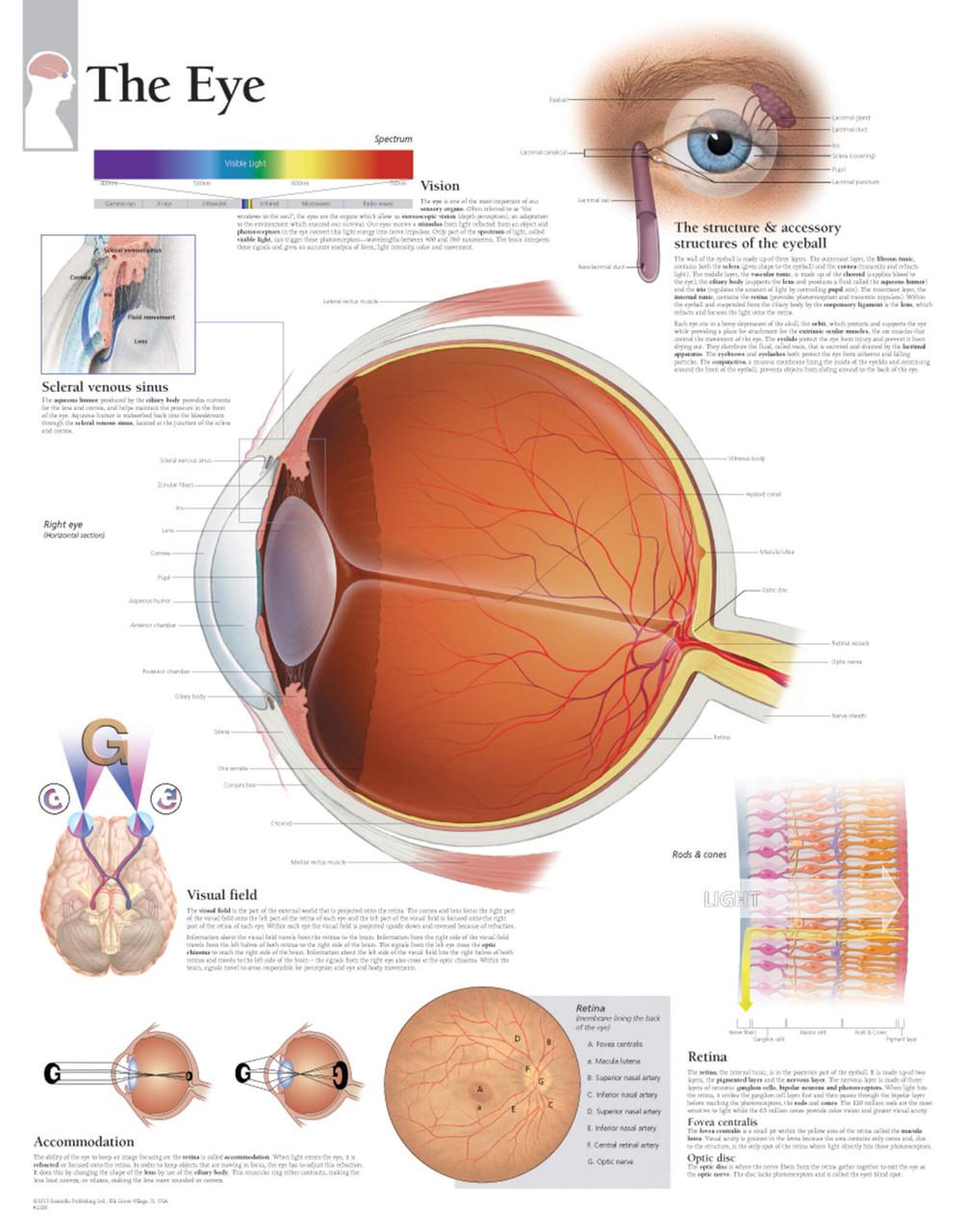 Eye Anatomy Poster