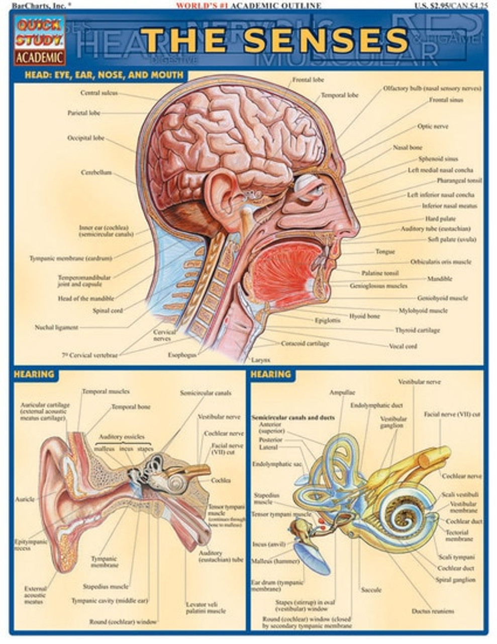 Senses Anatomy Chart