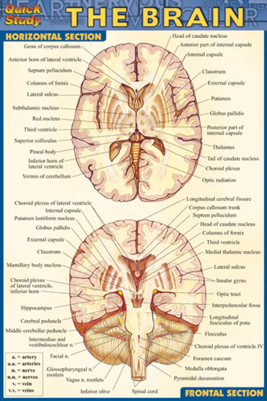 Brain Anatomy Chart - Clinical Charts and Supplies