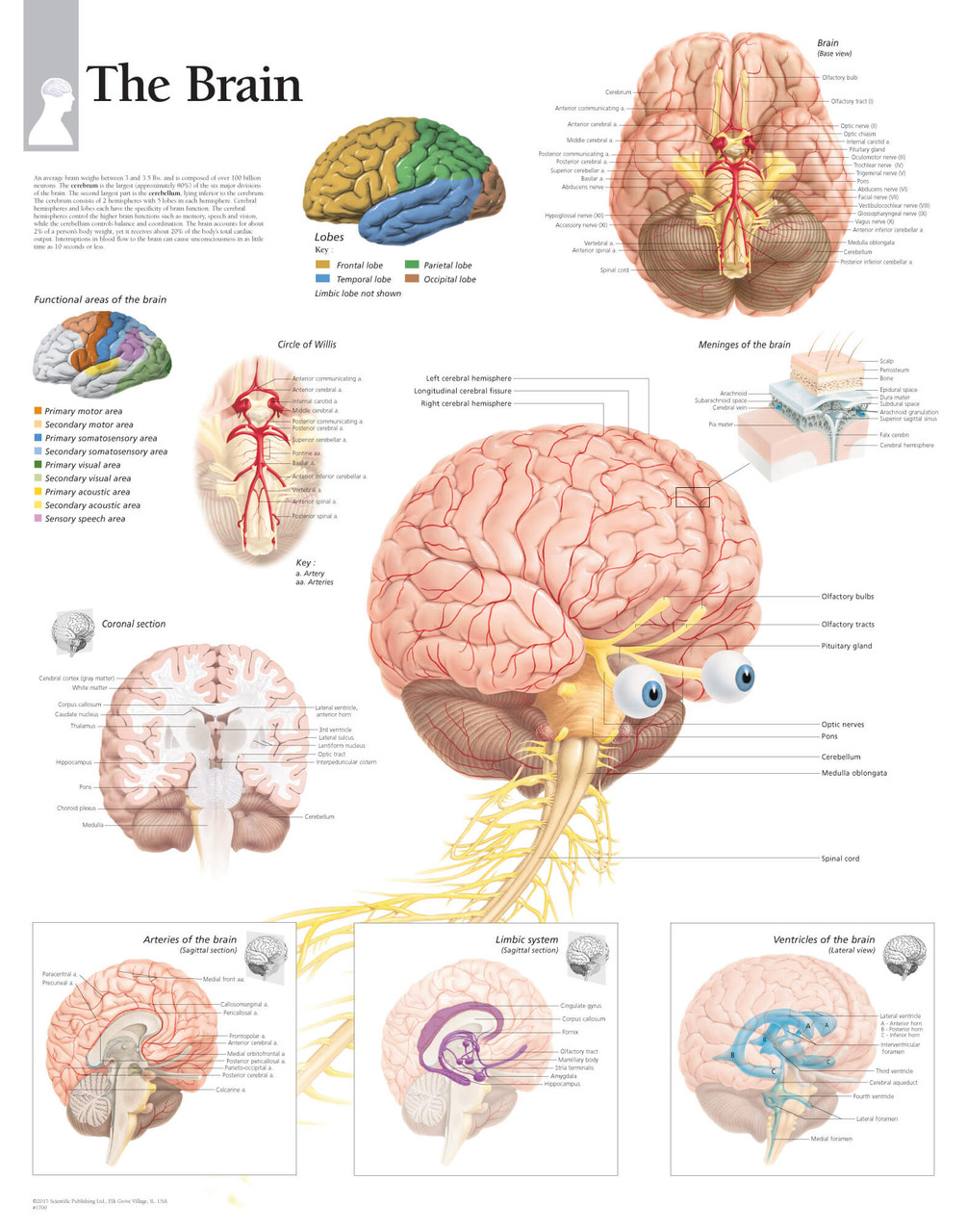 Brain Anatomy Poster-2 - Clinical Charts and Supplies
