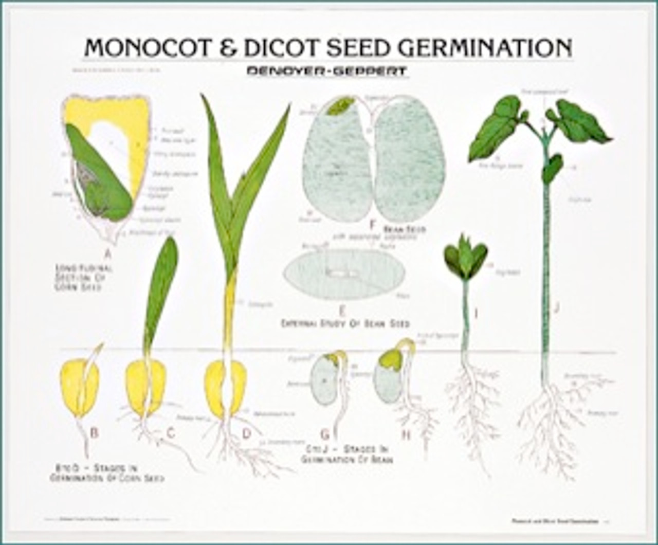 Monocot And Dicot Seed Germination Chart