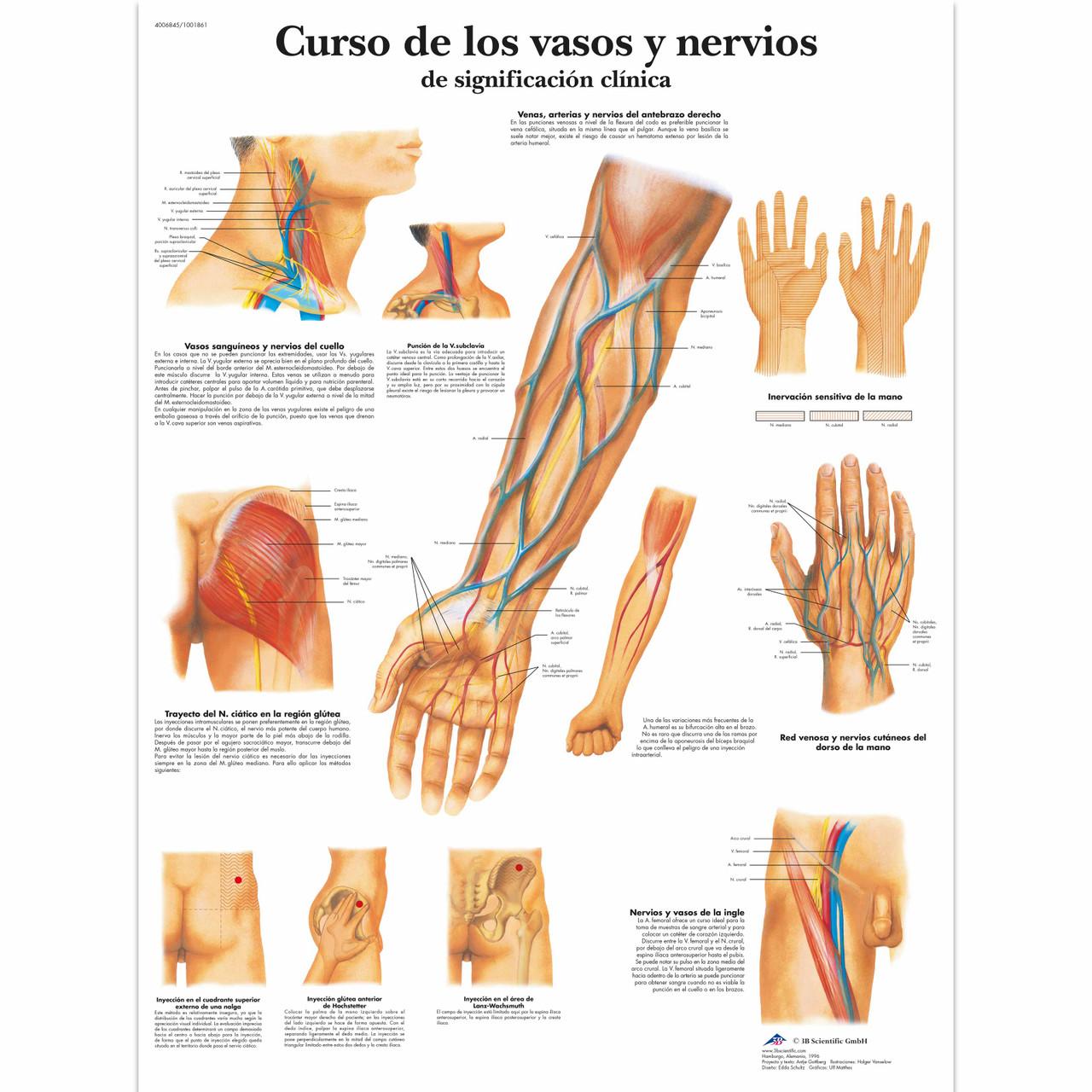 Curso de los vasos y nervios de significación
