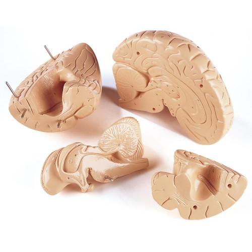 Brain Anatomical Model