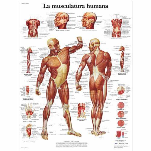 La Musculatura humana Chart