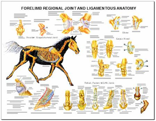 Equine Chart, Forelimb Joint and Ligament