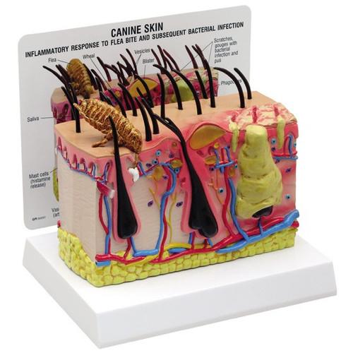 Canine Skin Anatomy Model