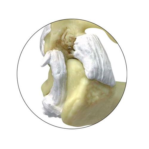 Feline Anatomical Model- Close up