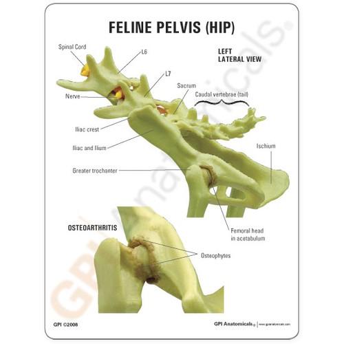 Feline Hip Model Description Card