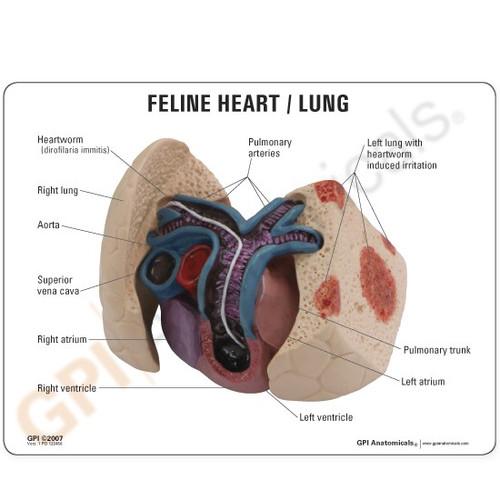 Feline Heart / Lung Model Description Card