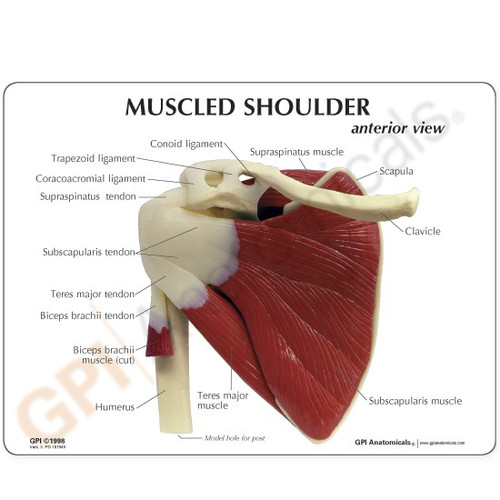 Shoulder Joint Rotator Cuff Anatomical Model Description Card